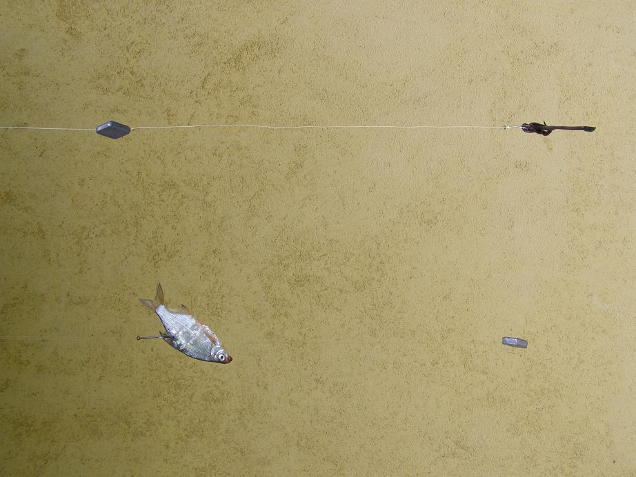 Fenekező harcsázás | HorgászMánia friss horgász hírek