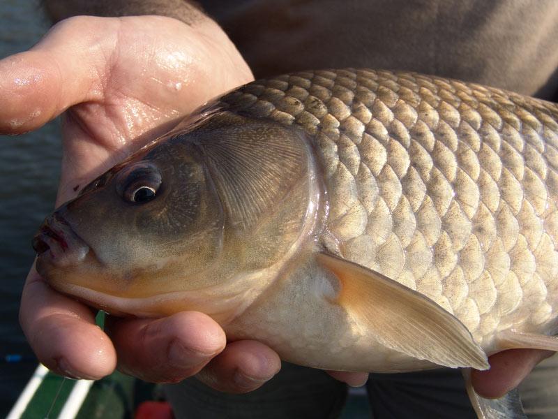 Pickeres kárászozás | HorgászMánia friss horgász hírek