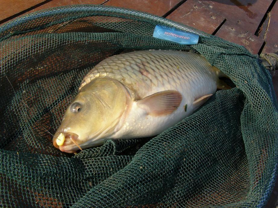 Dübörög a pontyszezon | HorgászMánia friss horgász hírek