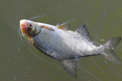 Tisza-tó mindig jó | HorgászMánia friss horgász hírek