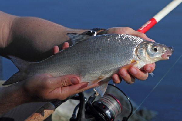 Nagybajom után a Dunán-Horgász Magazin | HorgászMánia friss horgász hírek