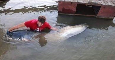 Hallatlan fogás a Tiszában – 240 centis harcsát húztak partra Szegednél | HorgászMánia friss horgász hírek