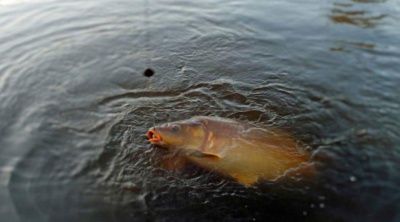 Bányatavi nagypontyok | HorgászMánia friss horgász hírek