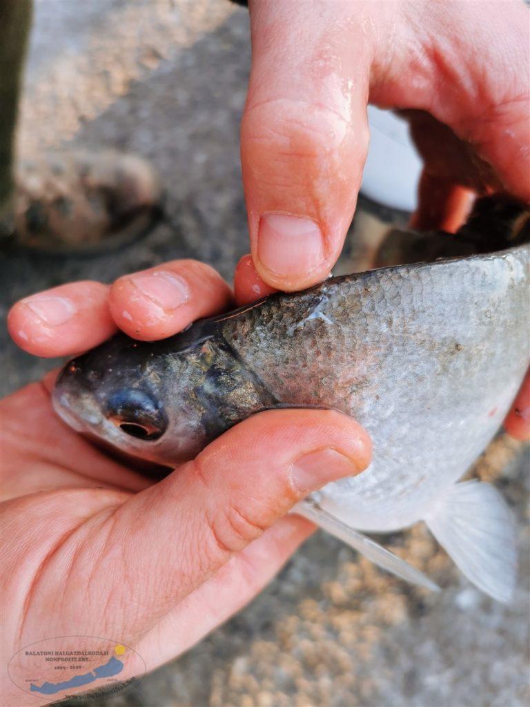 Két gereblyéző horgászt fogtunk a hétvégén | HorgászMánia friss horgász hírek
