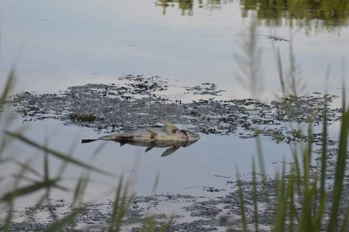 Csónakázó tó halpusztulás-Nagykanizsa | HorgászMánia friss horgász hírek